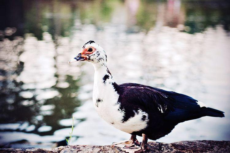Close-up of duck at lakeshore