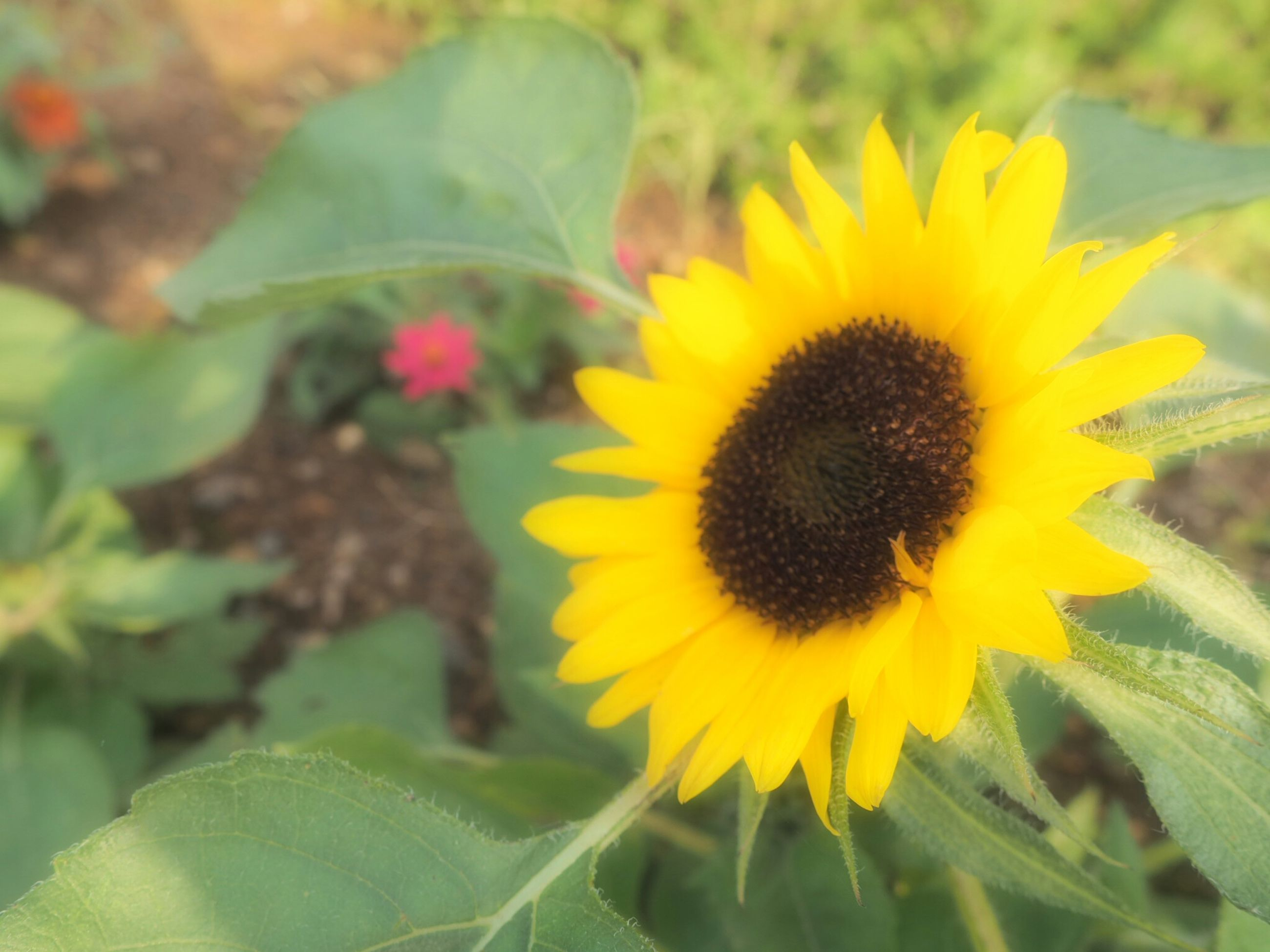 flower, freshness, yellow, flower head, fragility, petal, growth, sunflower, beauty in nature, plant, close-up, blooming, single flower, nature, leaf, focus on foreground, pollen, in bloom, outdoors, day