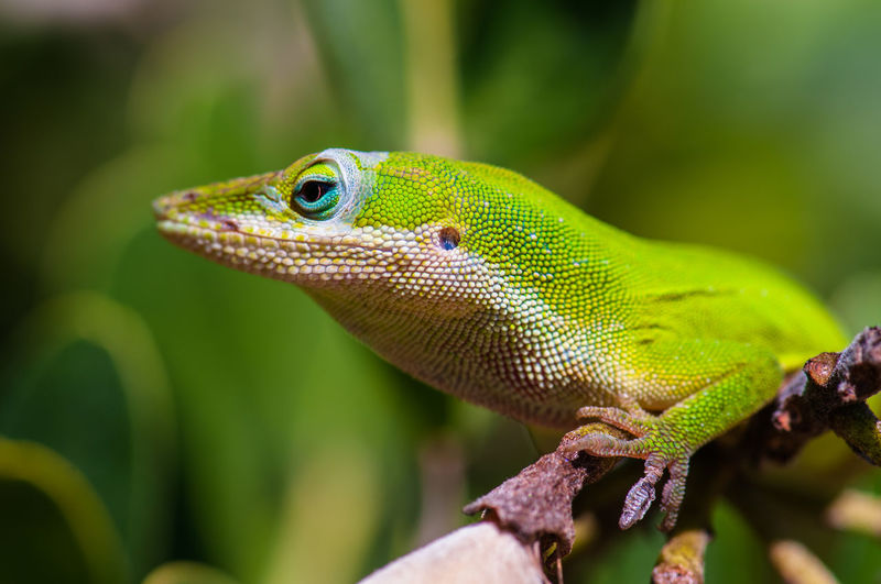 Reptile Animal Lizard One Animal Animal Themes Vertebrate Animals In The Wild Animal Wildlife Close-up Focus On Foreground Green Color No People Day Nature Outdoors Natural Pattern Plant Looking Away Looking Animal Body Part Animal Scale Animal Eye