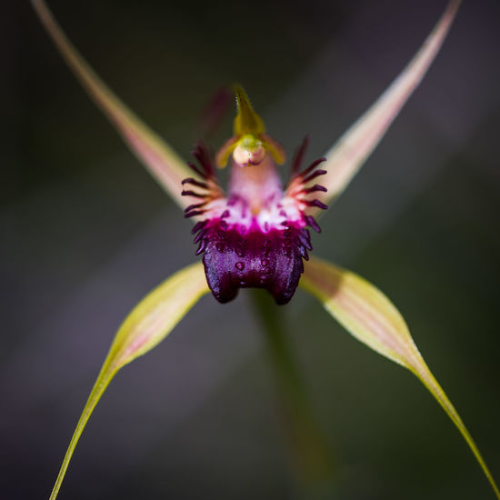 Animal Themes Beauty In Nature Close-up Day Flower Flower Head Fragility Freshness Growth Horizontal Insect Nature No People One Animal Orchid Outdoors Passion Flower Petal Pink Color Pistil Plant Pollen Pollination Spider Orchid