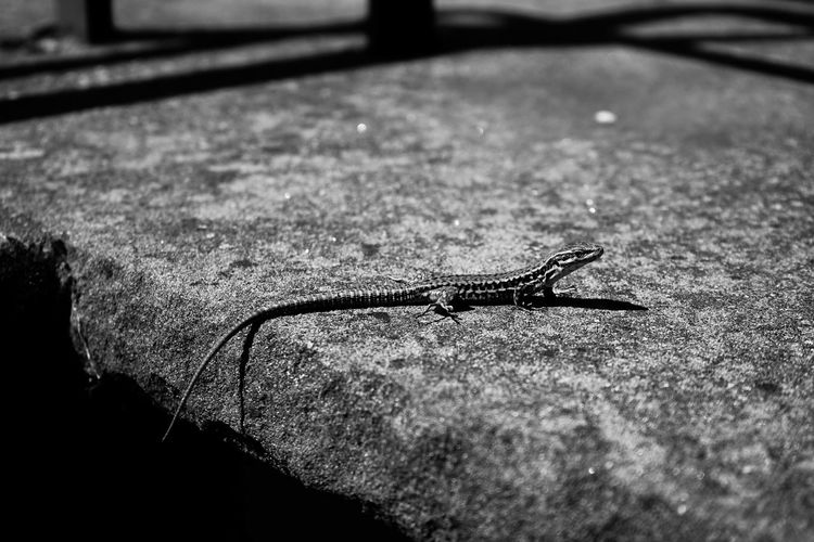 Animals In The Wild Macro Photography SONY A7ii Animal Animal Photography Animal Themes Animal Wildlife Animals In The Wild Black And White Blackandwhite Close-up Day Lezard Macro Nature No People One Animal Outdoors Reptile Sony The Week On EyeEm EyeEmNewHere