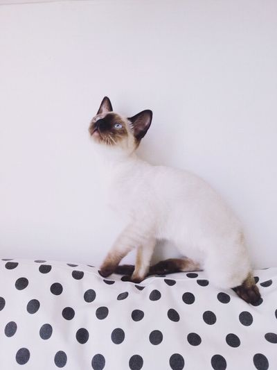 Cat Cat Lovers Cute Cats Cat♡ Dots Minimalism Siamese