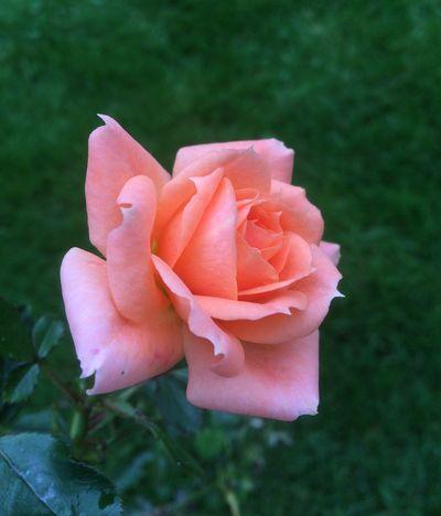 Rose Peach Rose Peach Flower Garden Flowers Garden