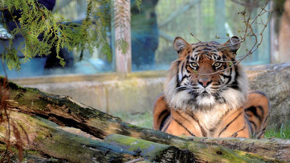 Animal Animal Wildlife Beauty In Nature Cats Danger Feline Killer Maneater Tiger Wildlife Zoo Tigers
