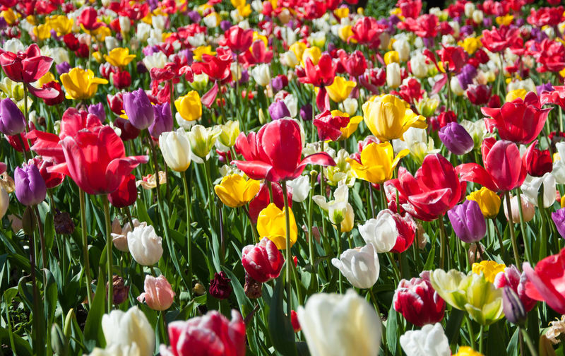 Colourful tulips in a flowerbed Tulips Colourful Tulips Flower Flower Head Flowerbed Freshness Multi Colored Plant Springtime Tulip Tulips Flowers Vibrant Color