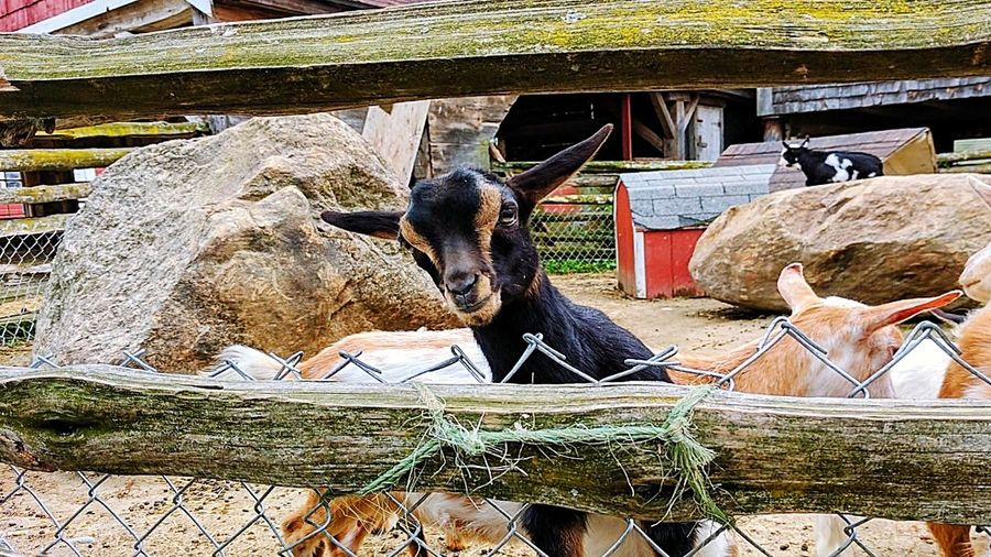 Outdoors Day Mammal Domestic Animals Built Structure Goatfarm Goat Life Babygoat