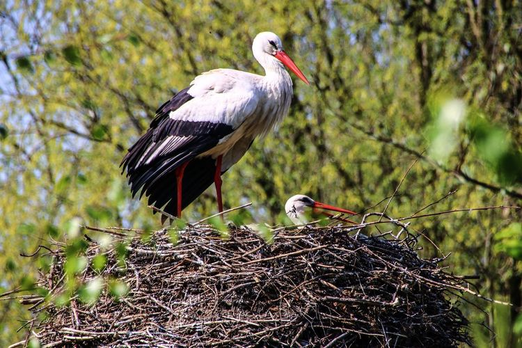 Up in the trees Storks Couple Storks Nest Storks Stork Bird Animal Themes Animal Animal Wildlife Vertebrate Animals In The Wild Group Of Animals Animal Family Nature Perching Stork Animal Nest Two Animals Beauty In Nature Snout Bird Nest Feather  Feather