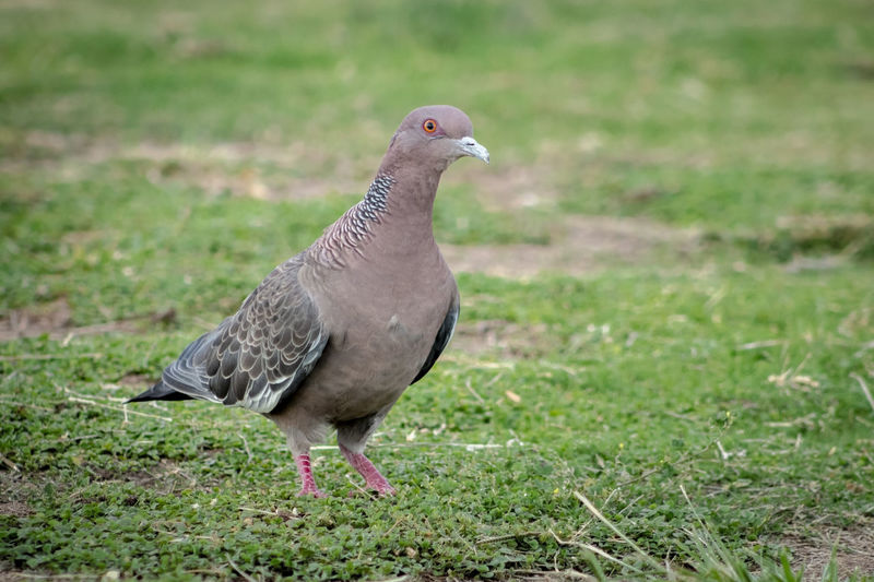 Pigeon Animal