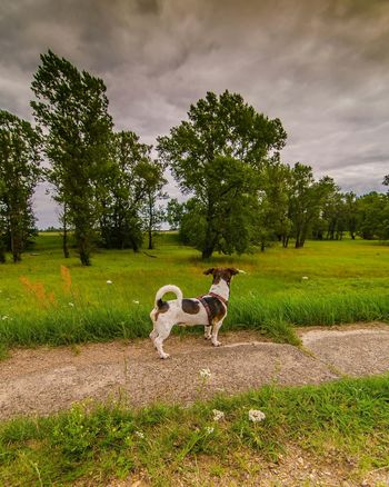 Sky And Clouds Jack Russell Jackrussell Jackrussellterrier Jackrusselllove Jackrussellofday Jackrussellofinstagram Dogs Of EyeEm Doglovers