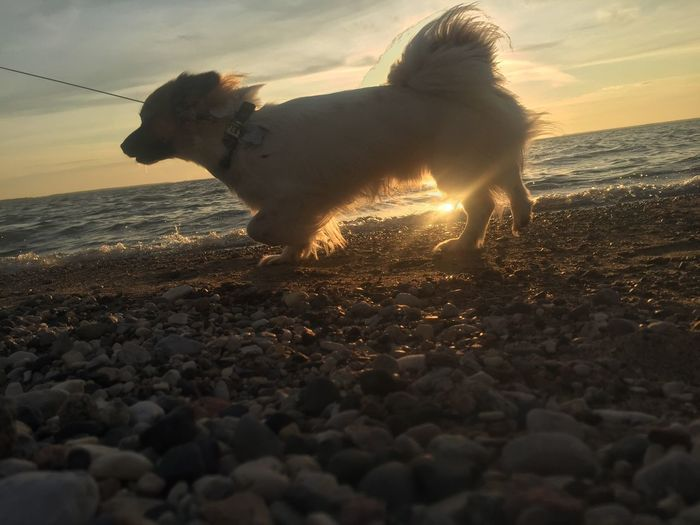 The Week On EyeEm EyeEmNewHere Domestic Animals Chewie Dog Sunset Beach Water Nature Horizon Over Water Beauty In Nature Pet Portraits