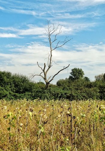 Deadtree Sky And Clouds Land Scape Extraordinary  Extraordinary Nature Mood Storytelling Bare Tree Tranquility Non-urban Scene Tree Trunk Nature Moodygrams Tranquil Scene Beauty In Nature Cloud - Sky Blue Sky Branch Landscape Hello World Beautiful Nature Relaxing Taking Photos Bare Tree Tranquil Scene