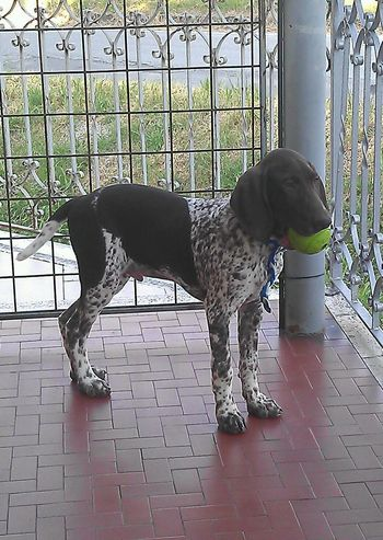 Kurzhaar Dog Cute Italia