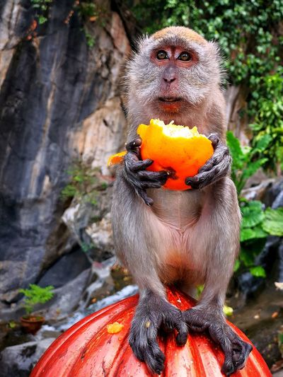 Wild monkey with mandarin orange Fruit Mandarin Orange Alone Food Animal Wildlife Nature Sweet Tourist Attraction  Hungry Orange Color Monkey Close-up Wild Animal