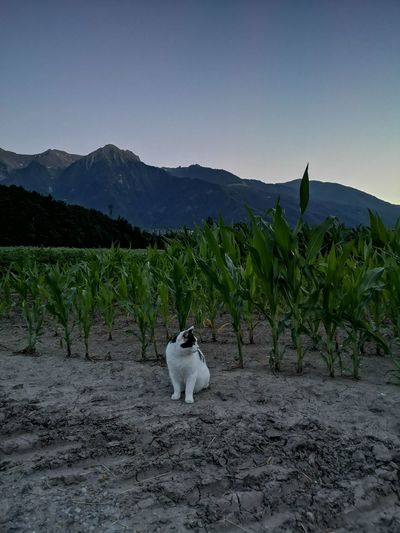 White dog on field against mountain range