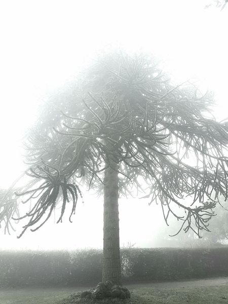 Monkey Puzzle Tree Araucaria Araucana Living Fossil Tree In Fog Tree In Mist Monochrome Photography England In Winter January Scene January 2017 Poole Park England, UK Mysterious Mist Loneliness EyeEmNewHere Samsung Galaxy S7