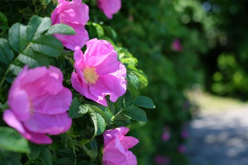 ハマナスの咲く小道 Flower Pink Color Beauty In Nature Fragility Outdoors No People 初夏 のヒカリ 散歩 Green Color Light And Shadow Walking Around Path In Nature The Purist (no Edit, No Filter)