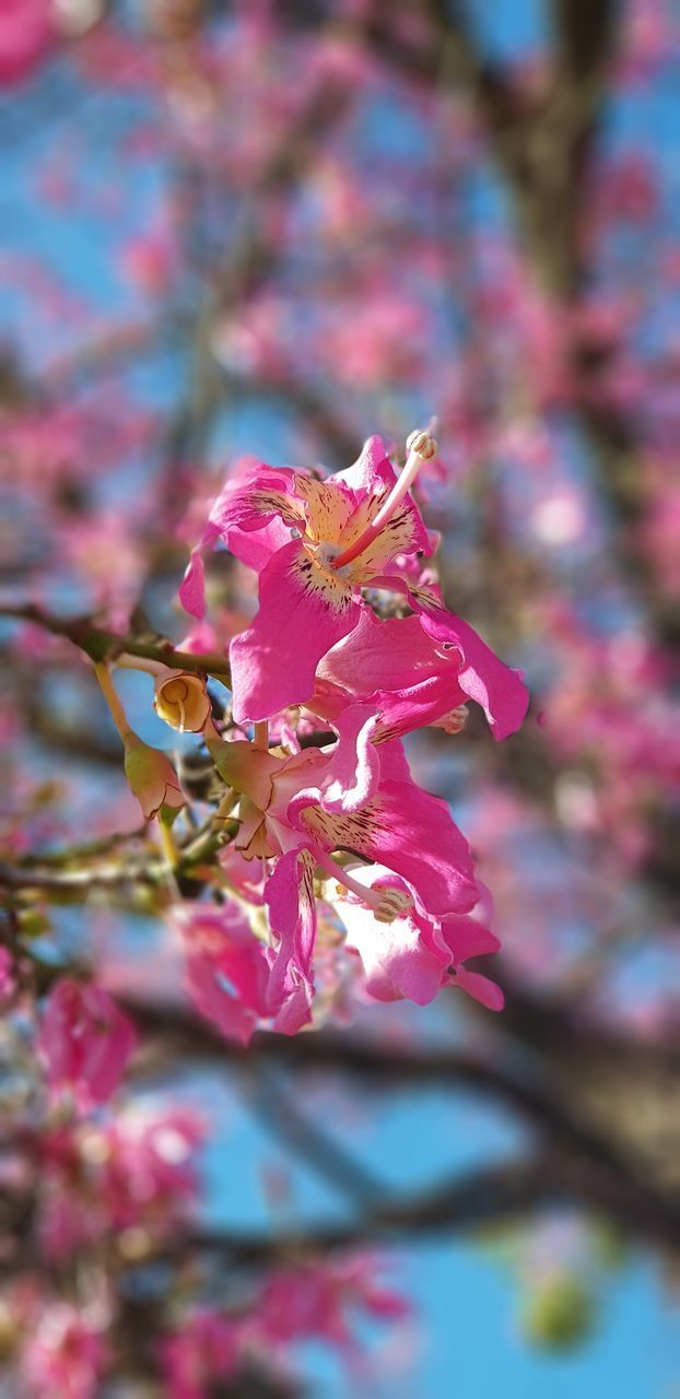 flower, flowering plant, beauty in nature, fragility, plant, vulnerability, petal, freshness, close-up, growth, pink color, flower head, nature, invertebrate, no people, one animal, insect, selective focus, day, animal, springtime, pollen, outdoors, pollination, cherry blossom