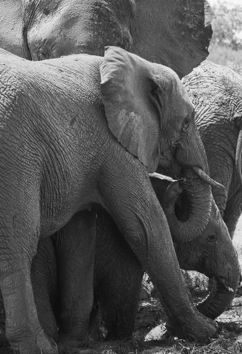 Elephant Animal Themes Mammal Animals In The Wild No People Animals In The Wild Animal Wildlife Animal Photography Wildlife Photography Animalplay Wildlife PhotosWildlife Wildlifephotography Wildlife Refuge Wild