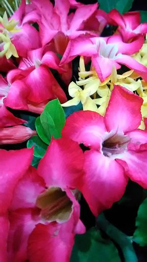 Asoka Kuning Pink Flower 🌸 Freshness Full Frame No People