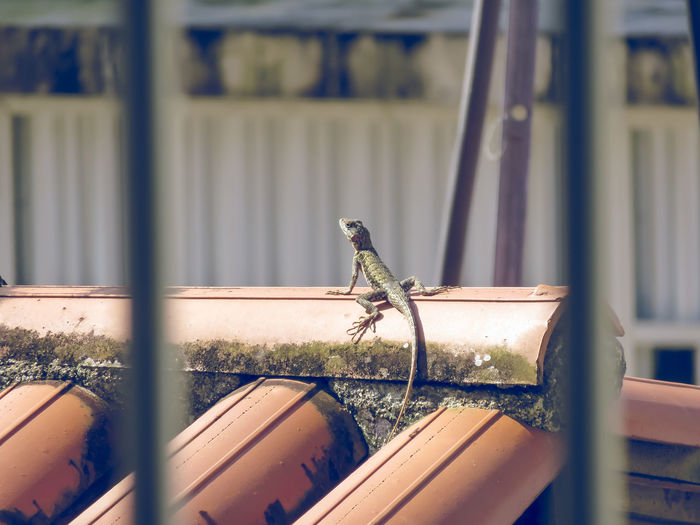 Bearded dragon on house roof