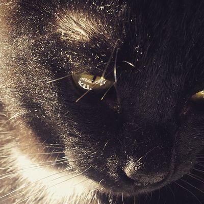 Rocco Douglas Boiler Catoftheday Cataholic Blackcats Instacats Puttanino Catsoninstagram Catsofinstagram