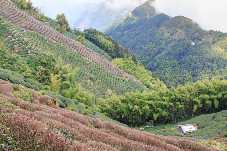 Oolong Tea plantation in Taiwan ASIA Bamboo Forest Beauty In Nature China Green Color Growth Hill Idyllic Landscape Mountain Nantou County Nantou,Taiwan Nature Nature Non-urban Scene Oolong Oolong Tea Scenics Sky Taiwan Tea Tranquil Scene Tranquility Tree Wild