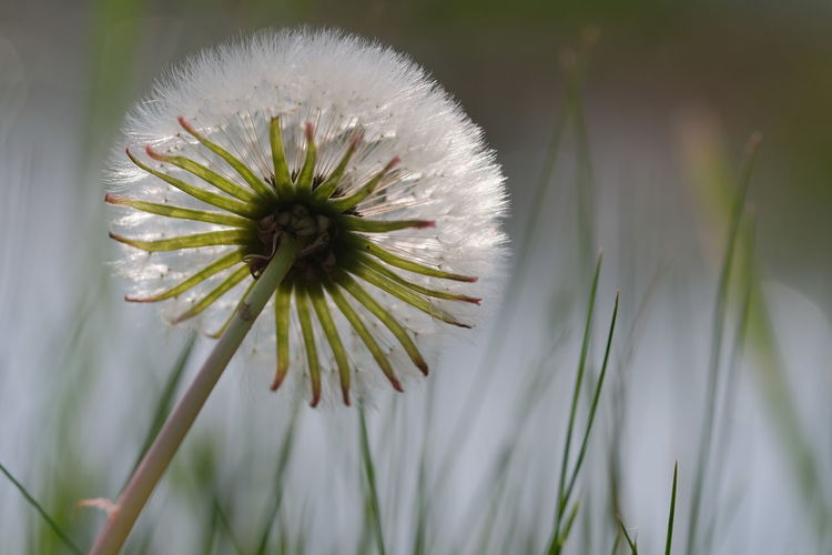 Der Sonne entgegen Plant Flower Flowering Plant Freshness Beauty In Nature Fragility Growth Vulnerability  Close-up Nature Dandelion Focus On Foreground Inflorescence No People White Color Flower Head Day Petal Outdoors Dandelion Seed Softness Sepal