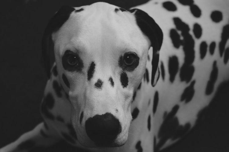 Puppies Dalmatiansofinstagram Pets Dal Dalmatians D3300 Dog Dalmatian