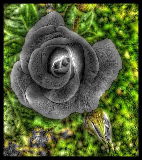Blackday Rosa Flowerporn Streamzoofamily