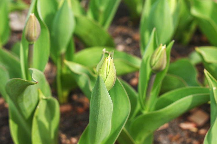Young not blossoming tulips. Close-up Agriculture Horizontal Biology Botany Bud Close-up Cultivate Day Ecology Floral Pattern Focus On Foreground Freshness Green Color Growth Leaf Macro Lens Nature No People Outdoors Plant Spring Sprout Stem Sunshiny Tulip