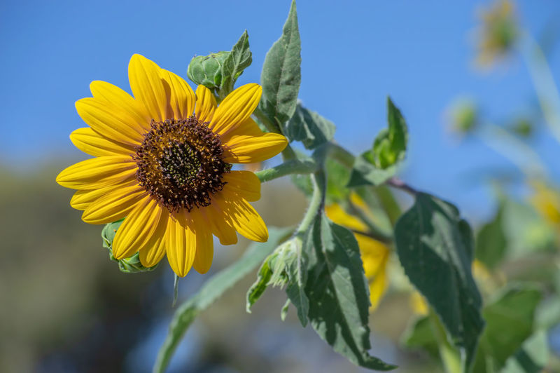 Sunflower Beauty In Nature Close-up Flower Flower Head Flowering Plant Focus On Foreground Fragility Freshness Growth Inflorescence Leaf Nature No People Petal Plant Plant Part Sky Sunflower Vulnerability  Yellow