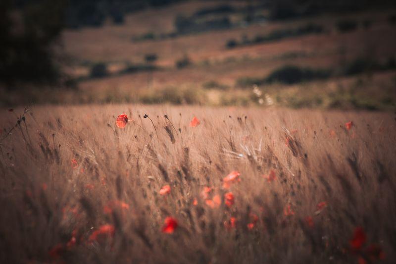 Red flowers on field