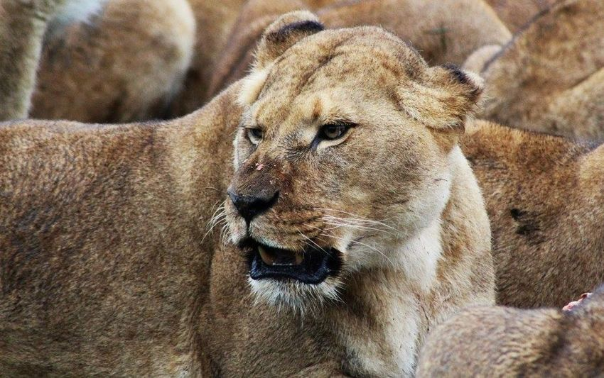 Animal Themes Lioness Animal Wildlife Close-up Outdoors Mammal No People Animals In The Wild Relaxation Lion - Feline One Animal Day Beauty In Nature Whisker Zoophotography ZooKeeper Safaripark Zoo Big Cat Safari Animals In The Wild Zoo Animals  Feline Safari Animals Zoo Animals