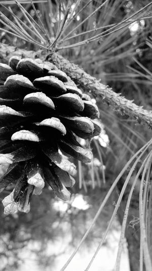 Blackandwhite Blackandwhite Photography Outdoors Pine Pine Trees Pine Cone Forest Forest Photography Mother Nature