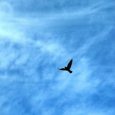 Flying Sky Bird Nature Spread Wings Animal Themes Outdoors One Animal Animal Wildlife Black Bird Crow One Bird Flying Raven - Bird Raven Blue Sky United States Of America USA United States USA Alabama Hokes Bluff Gadsden, Alabama