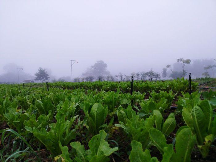 wangnamkhiao Wangnamkeaw ผัก Rural Scene Greenhouse Agriculture Fog Social Issues Irrigation Equipment Field Tree Tea Crop Crop