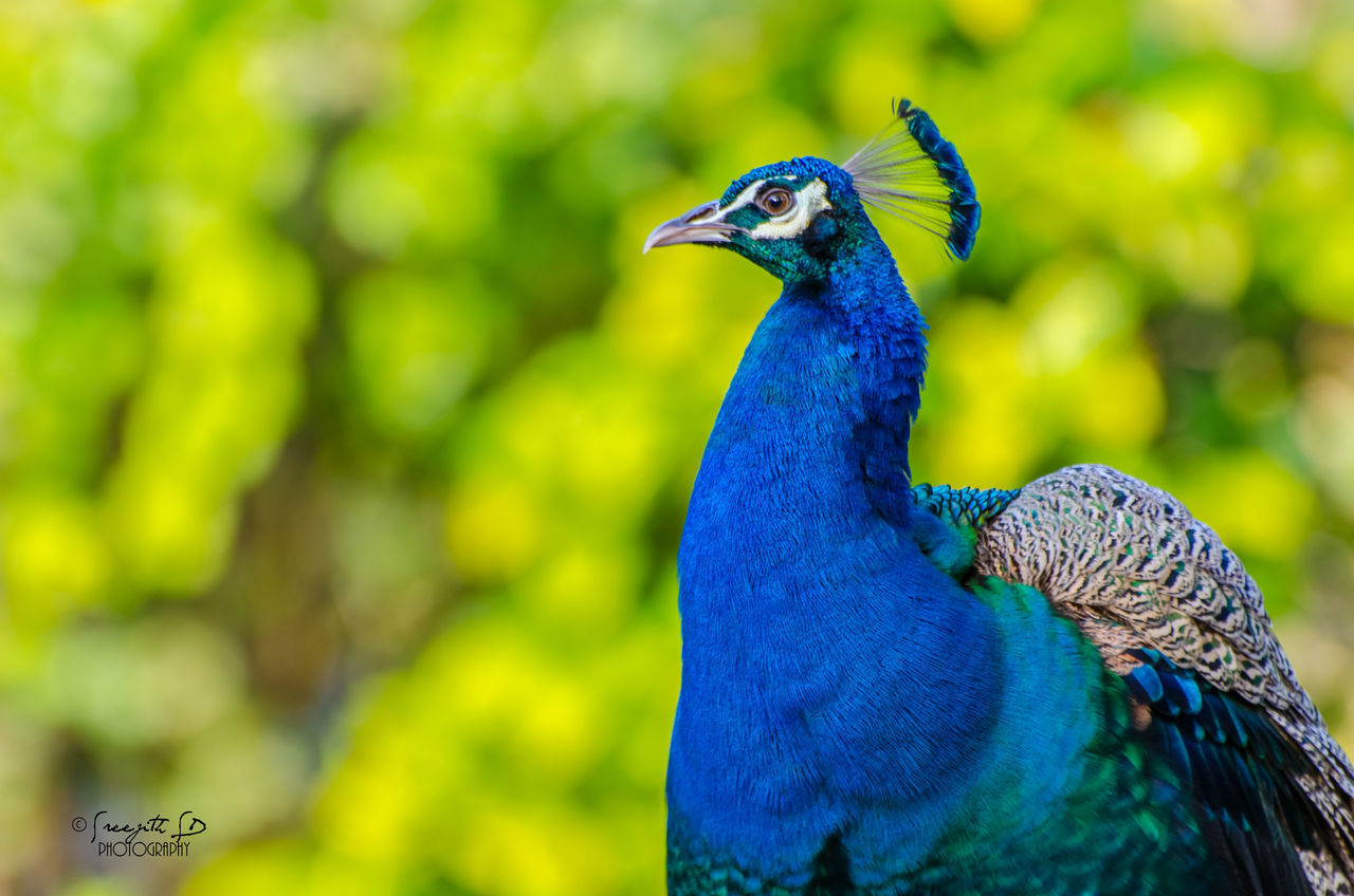 bird, one animal, animal themes, animals in the wild, focus on foreground, animal wildlife, nature, day, green color, outdoors, peacock, close-up, beauty in nature, blue, no people, beak, feather, animal crest