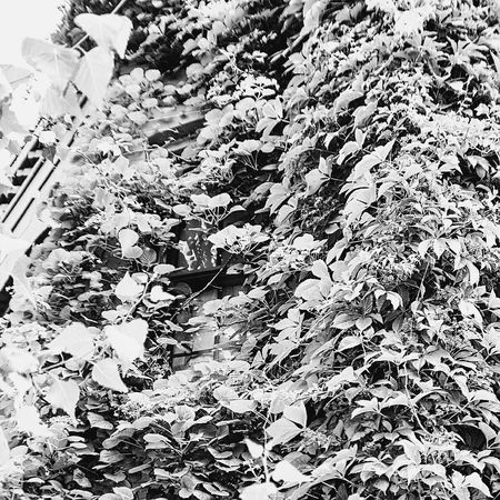Check This Out Taking Photos Nature's Takeover Secret Places Secret Window Nature Blackandwhite Grey Shades Of Grey B&w Street Photography City Life Naturelovers Nature_collection Togetherness Streetphotography Adapted To The CityPushing Thru Black And White Collection  No People GoingWithTheFlow Vine Intertwined TATPhotography Growth Findingtheway