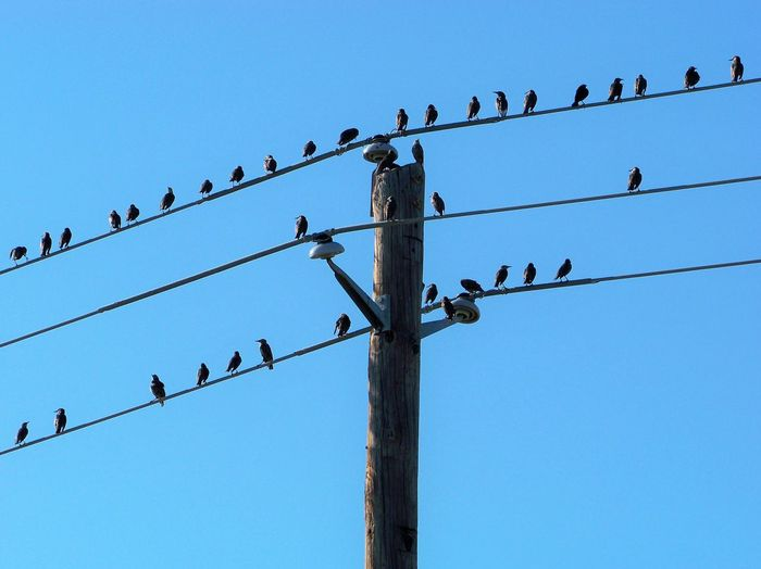 Row Of Birds Animal Animal Themes Animal Wildlife Animals In The Wild Bird Blue Cable Clear Sky Day Electricity  Group Of Animals Large Group Of Animals Low Angle View Mobile Photography Nature No People Outdoors Power Line  Sky Telephone Line Go Higher Visual Creativity Focus On The Story The Great Outdoors - 2018 EyeEm Awards The Street Photographer - 2018 EyeEm Awards Summer Road Tripping