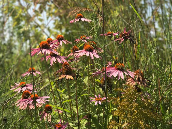 Close-up of coneflowers blooming on plant