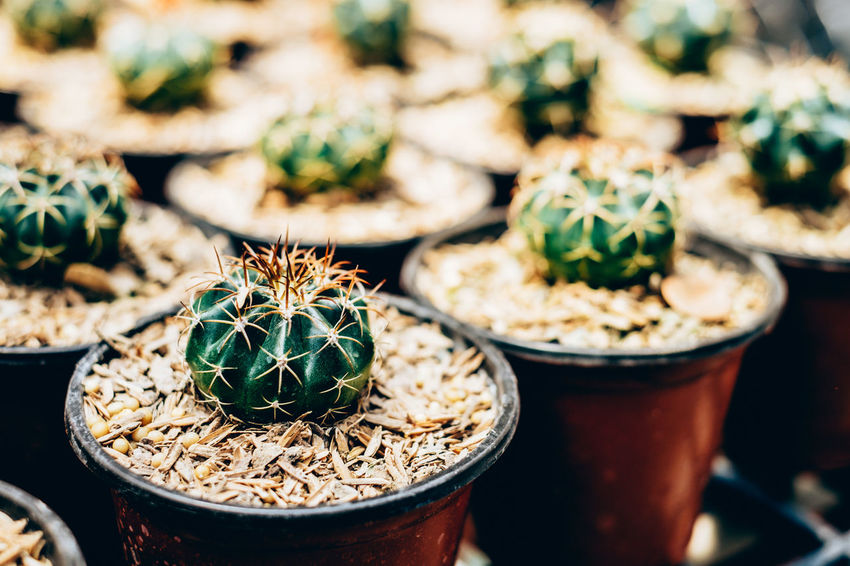 Baby Cacti Cactus Garden Copy Space Gardening Green Color Spikes Succulents Backgrounds Beauty In Nature Cactus Close-up Focus On Foreground Freshness Green Color Greenhouse Growth Hobby Nature Outdoors Plant Potted Plant Round Sunlit Thorn