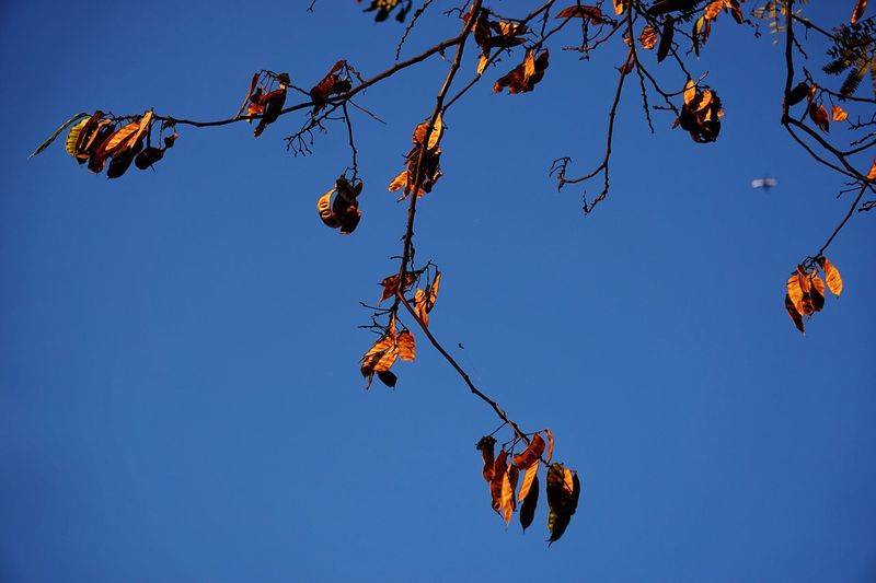 Golden pods and plane Golden Sunshine Pods Tree Yellow Evening Evening Sky Blue Sky Airplane Blurred