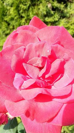 Check This Out Close-up Beauty In Nature Rose - Flower Petal Pink Color Fragility Flower Head Blooming Freshness Outdoors
