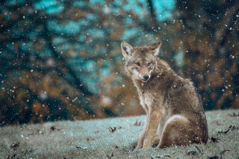 One Animal Animals In The Wild Animal Themes Mammal Animal Wildlife No People Animal Outdoors Snowing Watching Nature Domestic Animals Portrait Coyote Cold Days Solitude Peace Peace And Quiet