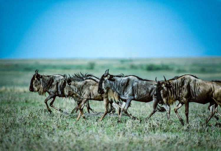 Animal Animal Themes Animal Wildlife Animals In The Wild Blue Clear Sky Day Environment Grass Group Of Animals Herbivorous Herd Landscape Mammal Nature No People Plant Safari Sky Walking Wildebeest