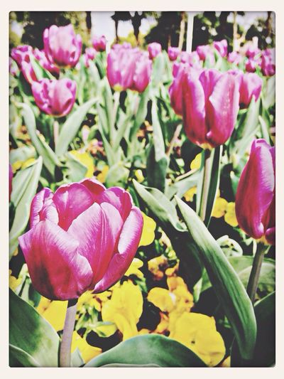 Don't forget the tulip Greatlife/