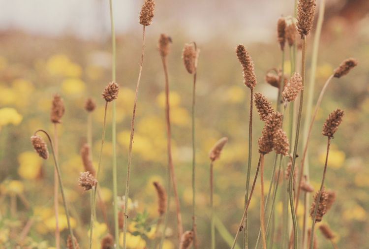 Close-up of wilted flowers in field