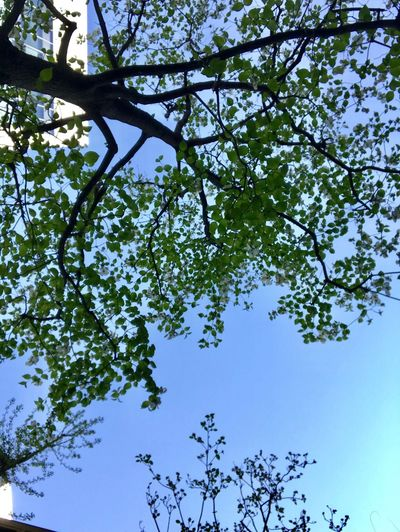 Plant Tree Sky Growth Low Angle View Beauty In Nature Branch Green Color No People Day Clear Sky Blue