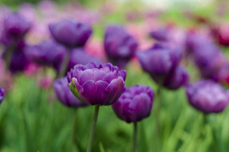 Flower Purple Flowering Plant Plant Freshness Beauty In Nature Close-up Growth Nature Selective Focus Vulnerability  Fragility Green Color No People Field Focus On Foreground Day Land Petal Food And Drink Springtime Outdoors Flower Head Flowerbed