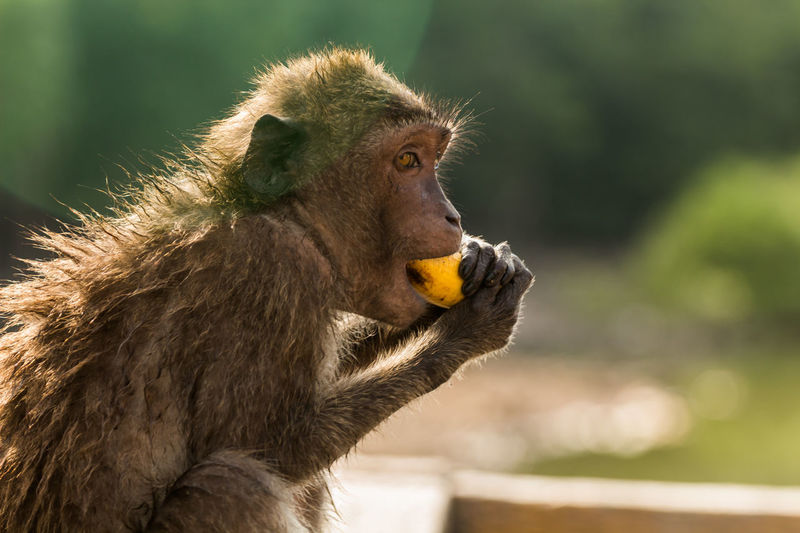 Long-tailed macaque eating banana in zoo